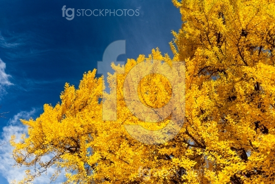Bright golden yellow fall foliage on blue sky background.